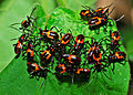 Red Bugs (Pyrrhocoridae) nymphs (17965743402).jpg