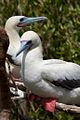 Red Footed Boobies (5295759020).jpg