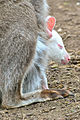 Red Necked Wallaby (2) (8681084692).jpg