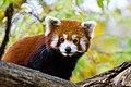 Red Panda (37661637975).jpg