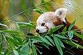 Red Panda (37661779575).jpg