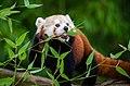 Red Panda 02.jpg
