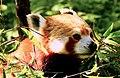 Red Panda at Singalila National Park.jpg