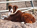 Red bicolour Australian Shepherd.jpg