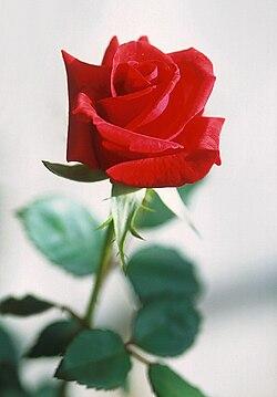 Rosa Wikipédia A Enciclopédia Livre