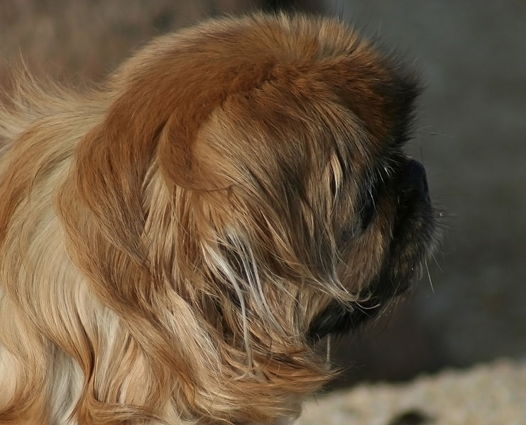 Pekingese dog puppy