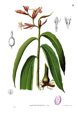 Renealmia alpinia Blanco1.1.jpg