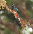 Resplendent Quetzal (Pharomachrus mocinno) (5772514472).jpg