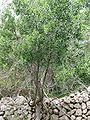 Rhamnus alaternus Mallorca.jpg