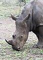 Rhinoceros in Zulu Nyala Reserve.jpg