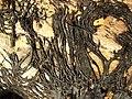 Rhizomorphs (thick fungal threads) of Armillaria mellea - geograph.org.uk - 933530.jpg