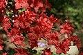 Rhododendron Bagatelle 1zz.jpg