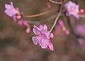 Rhododendron mucronulatum pink peignoir (70036).jpg
