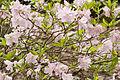 Rhododendron schlippenbachii CFGb121.jpg