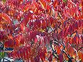 Rhus en automne.jpg