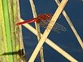 Ria dragonfly.jpg