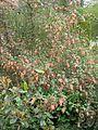 Ribes x beatonii (13620541585).jpg