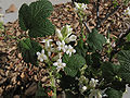 Ribesindecorum.jpg