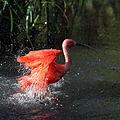 Rode ibis (4086645155).jpg