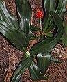 Rohdea japonica s4.jpg