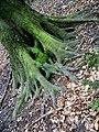 Roots - panoramio.jpg
