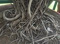 Roots are very beautiful.jpg