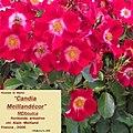 """Rosa """"Candia Meillandécor"""" o MEIboulca. 01.jpg"""
