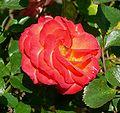 Rosa Rumba 1.jpg