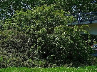 Rosa canina - A tall, climbing Rosa canina shrub