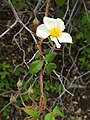 Rosa helenae - University of California Botanical Garden - DSC08902.JPG
