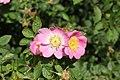 Rosa rubiginosa inflorescence (24).jpg