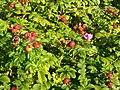 Rosa rugosa fruit (14)2.jpg