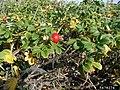 Rosa rugosa fruit (59).jpg