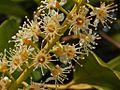 Rosaceae - Prunus laurocerasus (2).JPG
