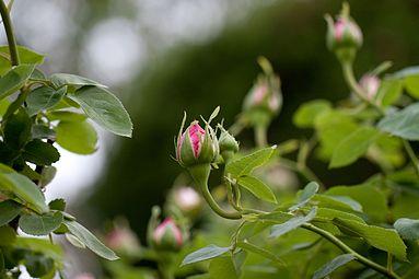Rose, Angela - Flickr - nekonomania.jpg