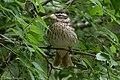 Rose-breasted Grosbeak (female) Sabine Woods TX 2018-04-21 12-35-48 (41971958141).jpg