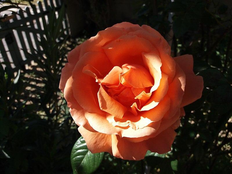 Rose inconnue près de Lunel (Hérault, France)