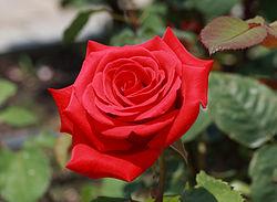 Rose Kardinal crop.jpg