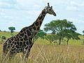 Rothschild's Giraffe (Giraffa camelopardalis rothschildi) old male (18047458919).jpg