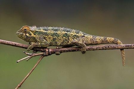 Rough chameleon (Trioceros rudis)
