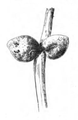 Roze fig.82.png