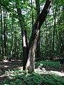 Rozszczepione drzewo... - panoramio.jpg