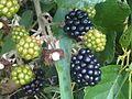 Rubus fruticosus wetland 6.jpg