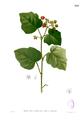 Rubus moluccanus Blanco2.393.png