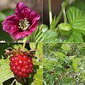 Rubus vernus (Montage s2).jpg