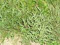 Rucola selvatica (Diplotaxis tenuifolia).jpg