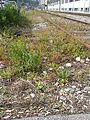 Ruderalflora Bahnhof Koeniz1.jpg