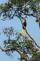 Rufous Hornbill - Mindanao H8O1848 (15786014954).jpg