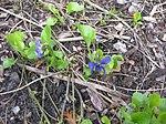Ruhland, Grenzstr. 3, Duftveilchen im Garten, blau blühend, Frühling, 07.jpg