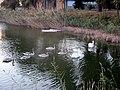 Rusanda618 swans swim.jpg